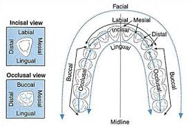 Image Result For Tooth Surfaces Chart Dental Teeth Dental