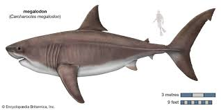 Shark Size Chart Megalodon Historys Largest Predator That Mysteriously Vanished