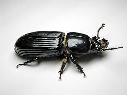 Black Beetle Identification Chart Passalidae Wikipedia