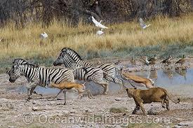 lioness hunting zebra.  Zebra Lion Hunting Gazelle Photo For Lioness Hunting Zebra 1
