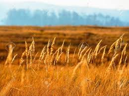 dry grass field background. Dry Grass On A Blurred Background Scenery, Fall Season Stock Photo - 33988442 Field