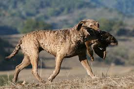 Dog Size Classification Chart Chesapeake Bay Retriever Dog Breed Information