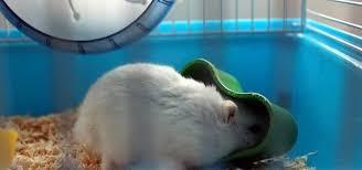 do hamsters eat hay