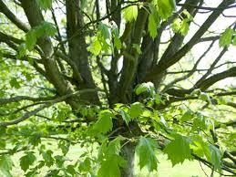 Service tree (Sorbus torminalis) - Woodland Trust