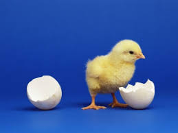 live baby chicken. Modren Chicken Go See Where The Best It Is To Find Baby Chicks On Sale With Live Chicken C