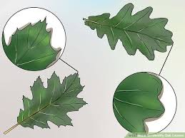 Oak Tree Comparison Chart 3 Ways To Identify Oak Leaves Wikihow