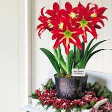 3 in 1 sophisticate amaryllis bulb gift whimsical and elegant this snowflake