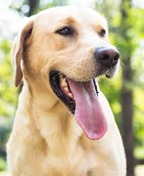 Labrador Weight Chart By Age Labrador Weight Charts How Much Should My Labrador Weigh