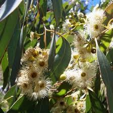 <b>Эвкалипт</b> многоприцветниковый (<b>Eucalyptus</b> polybractea) - 100 ...