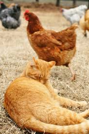 Image result for yellow barn cat