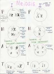 cell cycle flip book mitosis flip books diagram masters answer key wiring library