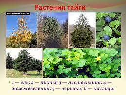 благоприятное течение культурные растения и животные зоны тайги
