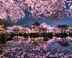 Japan, sakura, trees, pink flowers ...