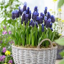 grape hyacinth bulbs. Plain Bulbs Van Zyverden Grape Hyacinths Bulbs Multi Colored Latifolum Set Of 25 Intended Hyacinth Home Depot
