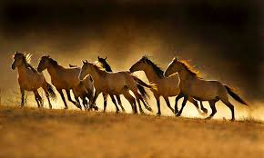 wild horses mustang running. Delighful Mustang Crossu2014posted From One Green Planet Conflict Between The Wild Horse  Population And Cattle Ranchers Runs Rife Across Western United States In Wild Horses Mustang Running N