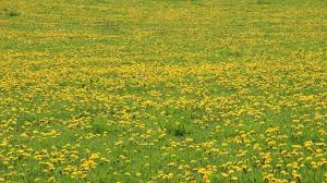 grass field background with flowers. Free Images : Nature, Field, Lawn, Dandelion, Prairie, Green, Pasture, Yellow, Plain, Rapeseed, Wildflower, Flowers, Pointed Flower, Background, Grassland, Grass Field Background With Flowers L