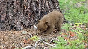 Yosemite Tracking Daily Journey Of Bears Online Kmph