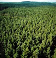Image result for pine forest