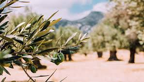 powerful properties of our olive oil