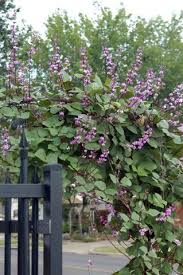 Pin by Rhoda Sims on outdoor spaces | Hyacinth bean vine, Climbing vines,  Flowering vines