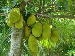 Have You Ever Tried Eating Red Bananas  Kerala Bananas And IndiaKerala Fruit Trees