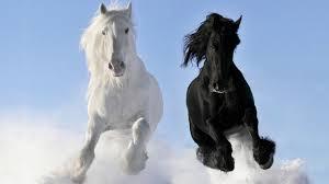 white horses. Exellent Horses 10 Black And White Horse Breeds In The World Intended Horses E
