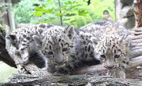 Video Jihlavská Zoo Má Levhartí Trojčata Dva Bratři Zamíří Do