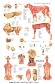Canine Muscle Chart Dog Muscles And Internal Anatomy Chart