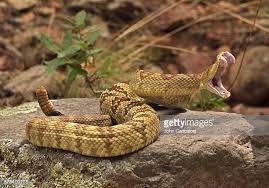 rattlesnake head striking. Interesting Rattlesnake Blacktailed Rattlesnake Crotalus Molossus In A Striking Posture Throughout Rattlesnake Head Striking