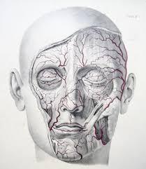 arteries of the face arteries of the face plate 6 from jones quains the vessel flickr