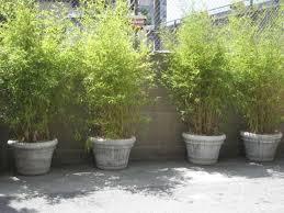 GardenWorldReport Bamboo Container Hedge.jpg