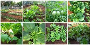 organic vegetables at emma s garden cafe candolim