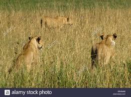 lioness stalking in grass. Interesting Lioness Lioness Stalking In Long Grass  Stock Image Throughout Stalking In Grass S