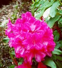 Rhododendron Bessie Howell - The Site Gardener