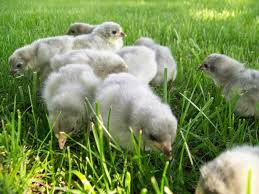 Image result for chicks scratching on green grass