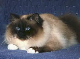 Small Picture Birman Cat Club of Australasia Colours of The Birman Cat