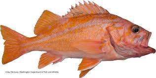 California Rockfish Chart California Marine Sportfish Identification Rockfish