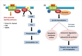 Adrenergic Receptors Chart Schematic Diagram Of Conventional 2 Adrenergic Receptor