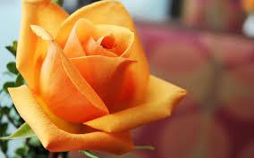 bright yellow rose