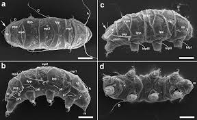 tardigrade actual size discovery of a tiny new animal in antarcticas victoria land
