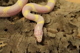 albino banded californian king snake lampropeltis getula californiae