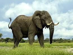 Resultado de imagen de elefante