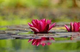"""Résultat de recherche d'images pour """"les fleurs de rivière"""""""