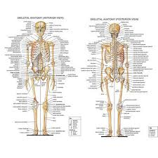Skeletal System Anatomical Chart Silk Poster 13x18 24x32inch Medical Science Ebay