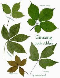 Ginseng Look Alikes Ebook By Madison Woods Rakuten Kobo