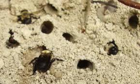 ground dwelling bees anthophora abrupta a miner bee