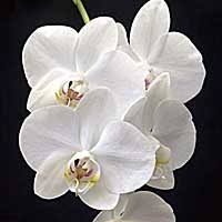 <b>Phalaenopsis</b> Culture Sheet