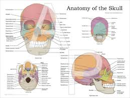 Human Skull Anatomy Poster