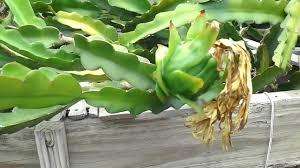Dragon Fruit  Anisah Afifahu0027s WeblogDragon Fruit On Tree