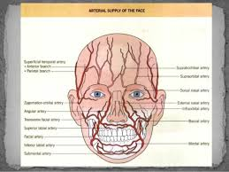arteries of the face face and neck